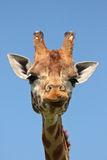 Close Up Of Giraffe Royalty Free Stock Images