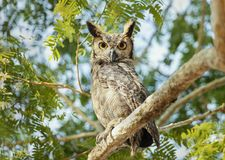 Free Close Up Of Great Horned Owl Perched In A Tree Stock Image - 164064051