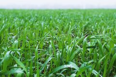 Close-up Of Green Leaves Of Young Wheat On A Wheat Field In Spring. Close-up Of Morning Dew Leaves On Wheat Leaves Royalty Free Stock Photos