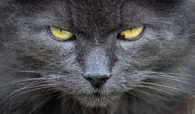 Free Close Up Of Grey Cat Face Royalty Free Stock Images - 158170119