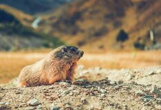 Free Close Up Of Groundhog In Nature Royalty Free Stock Images - 183293219