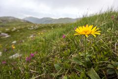 Close-up Of Lit By Sun Bright Yellow Flower On High Stem With Tender Green Leaves Blooming On Steep Grassy Hill On Blurred Mountai Royalty Free Stock Photo