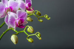 Free Close Up Of Orchid Flower Stock Images - 71091834