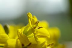 Close Up Of Rape Seed Flowers Stock Image