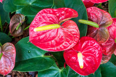 Free Close Up Of Red Anthurium In Garden. Stock Photography - 90859982