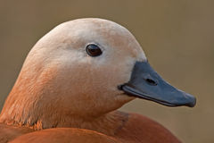 Close Up Of Ruddy Shelduck Royalty Free Stock Image