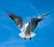 Close-up Of Seagull Stock Photos