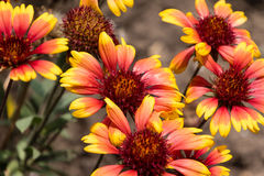 Free Close Up Of Several  Gallardia Blooms In The Garden Stock Photo - 96563100