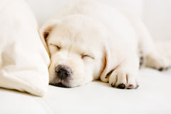 Close Up Of Sleeping Labrador Puppy On The Sofa Royalty Free Stock Photo
