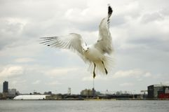 Free Close Up Of Soaring Seagull Stock Photos - 8622203