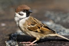Close Up Of Sparrow Royalty Free Stock Photo
