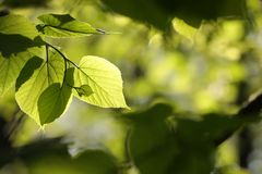 Free Close Up Of Spring Linden Leaf In The Forest Backlit By The Morning Sun April Spring Linden Leaves In The Forest Royalty Free Stock Photo - 146073995