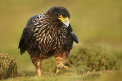 Free Close-up Of Striated Caracara Walking On The Grass Royalty Free Stock Photo - 107085505