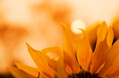Free Close-up Of Sunflower Royalty Free Stock Photo - 46129265