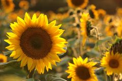 Free Close Up Of Sunflower Growing In The Field Backlit By The Light Of The Setting Sun August Poland Sunflower Helianthus Annuus In Royalty Free Stock Photography - 154676697