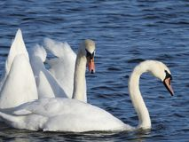 Free Close Up Of Swans In The Wild With Blue Water In The Background Royalty Free Stock Images - 111798389