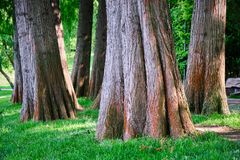 Close Up Of Taxodium Distichum Bald Cypress Tree Trunks Near A Lake In Urban Park. These Are Deciduous Conifer Trees. Stock Image