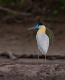 Close-up Of The Capped Heron Stock Image