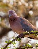 Close-up Of The Laughing Dove Royalty Free Stock Photography