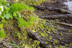 Free Close Up Of Tree Roots, Moss And Grass On A River Or Lake Bank Stock Photo - 95645490