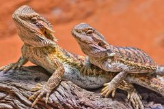 Free Close Up Of Two Bearded Dragons &x28;Bartagame&x29; Looking In The Same Direction Royalty Free Stock Photo - 165333415
