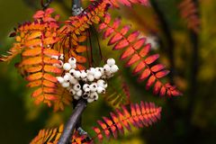 Close Up Of Vibrant Colorful Autumn Leaves From Koehne Mountain Ash, White Fruited Chinese,Rowan Sorbus Koehneana Stock Photos