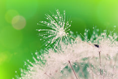 Free Close-up Of Wet Dandelion Stock Images - 19921404