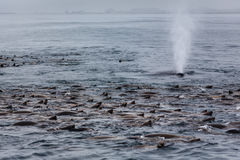Close-up Of Whale Spout In Midst Sea Lion Pod Royalty Free Stock Images