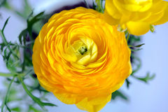 Free Close Up Of Yellow Ranunculus Flower Royalty Free Stock Photo - 66824035