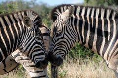 Close Up Of Zebra At Addo National Elephant Park Stock Image