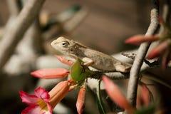 Close up off Indian Chameleon (Chamaeleo zeylanicus). Royalty Free Stock Images