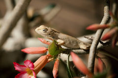 Close up off Indian Chameleon (Chamaeleo zeylanicus). Indian Chameleon (Chamaeleo zeylanicus) on tree branch Royalty Free Stock Images