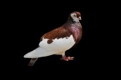 Close up off  rare species pigeon Royalty Free Stock Image