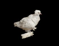 Close up off  rare species white pigeon Royalty Free Stock Photography