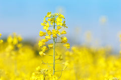 Close up of oil seed rape blooming Stock Images