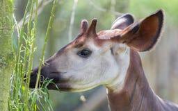 Close-up of an okapi eating Royalty Free Stock Photo
