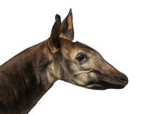 Close-up of an Okapi profile, Okapia johnstoni, isolated Royalty Free Stock Image