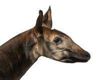 Close-up of an Okapi profile, Okapia johnstoni, isolated Royalty Free Stock Image