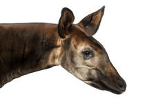 Close-up of an Okapi profile, Okapia johnstoni, isolated Royalty Free Stock Photos