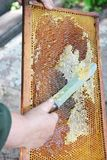 Close up of Old Beekeeper Hand Extracting Honey from Yellow Honeycomb Outdoor. Beekeeper Cuts Wax Off from Honeycomb Frame. With Special Knife Royalty Free Stock Photo