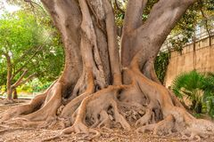 Trunk with intertwined roots of big old tree, detail view stock photo