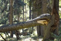 Close up of old broken mighty pine tree trunk or branch in mountain evergreen forest after windy storm or because of old age. Powe stock photos
