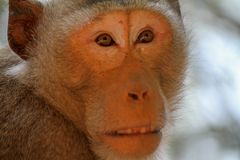 Close up old brown monkey looking forward Stock Photos