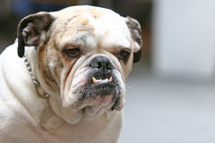 Close up of old bulldog. A close up of an old bulldog with visible canines Stock Photography