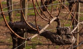 A Close up of an old Cabernet Grape vine Royalty Free Stock Image