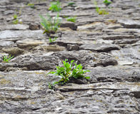 Close up of old cobblestone street and bright green wild grass. The concept of drought. Cracked dry earth and green grass Ancient Stock Photos