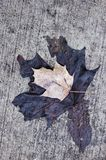 Close up of old fade ivy on a wall. Close up of old fade brown leaf for design royalty free stock photos