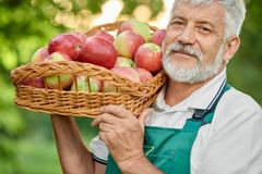 Close up of old farmer holding basket full of fresh apples. Close up of old farmer with grey hair holding on his shoulder basket full of fresh apples. Man stock photos