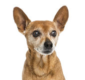 Close-up of an old German pinscher, 13 years old Royalty Free Stock Photography