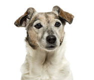 Close-up of an old Jack Russell Terrier, 13 years old Royalty Free Stock Image